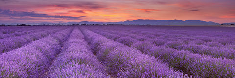 Lever de soleil au-dessus des champs de lavande en Provence, France Image stock