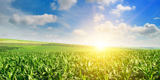 Lever de soleil au-dessus du champ de maïs Photos libres de droits