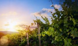 Lever de soleil au-dessus de vignoble de raisin ; landsc de matin de région d'établissement vinicole d'été images libres de droits