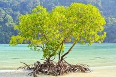 Lever de soleil brillant sur l'arbre de palétuvier à la plage Image stock