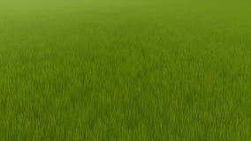 Lever de soleil de champ de bl? Paysage vert d'été de pré clips vidéos