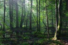Lever de soleil d'été dans le support humide de la forêt de Bialowieza photographie stock libre de droits