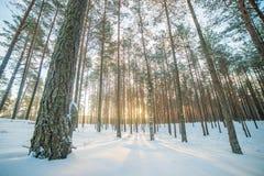 lever de soleil dans la forêt de pin d'hiver photos stock