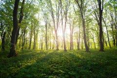 Lever de soleil dans la forêt verte photo libre de droits