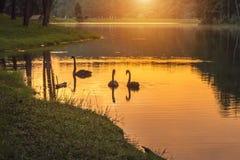 Lever de soleil dans le début de la matinée au lac d'ung de douleur avec la natation de couples d'atratus de Cygnus de cygnes dan Photographie stock
