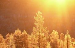 Lever de soleil dans le taiga dans la palette jaune Photographie stock