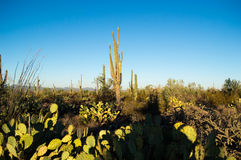 Lever de soleil dans une forêt de saguaro Image libre de droits