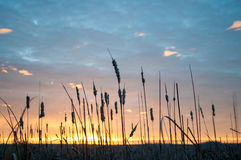Lever de soleil de Cattail Photo stock