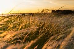 Lever de soleil de mauvaise herbe de vulpin Images stock