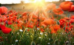 Lever de soleil de pavot Photographie stock libre de droits