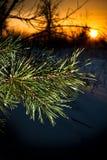 Lever de soleil de pins Photo stock