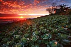 Lever de soleil de plantation de chou Photo libre de droits
