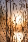 Lever de soleil par de hautes herbes sauvages en Misty Morning au printemps photos libres de droits