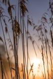 Lever de soleil par de hautes herbes sauvages en Misty Morning au printemps photo stock