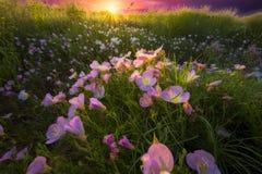 Lever de soleil rose de primevère Photo stock