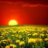 Lever de soleil sur le gisement de pissenlit Photos stock