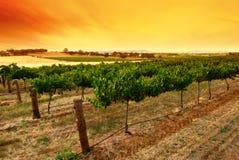 Lever de soleil vert de vignes Photo libre de droits