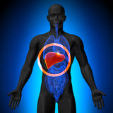 Lever - manlig anatomi av mänskliga organ - röntgenstrålesikt royaltyfri illustrationer