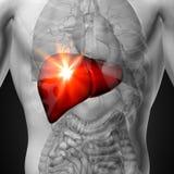 Lever - manlig anatomi av mänskliga organ - röntgenstrålesikt Arkivbilder