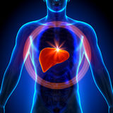 Lever - Mannelijke anatomie van menselijke organen - x-ray mening Royalty-vrije Stock Afbeelding