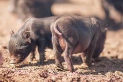 leverans för grisköttkött Problemet royaltyfria foton