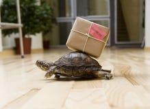 Leveranssköldpadda Arkivfoto