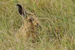 Leveret europaeus Lepus зайцев Брайна пряча в траве Стоковые Фотографии RF