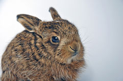 Leveret Royalty Free Stock Images