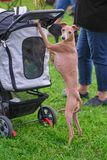 Leverette dog standing on his hind legs holding on to the baby c royalty free stock photography