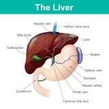 Levern är det enda mänskliga inre organet som är kapabelt av naturligt beträffande royaltyfri illustrationer