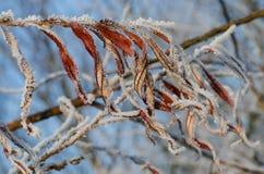 Leves congelati Fotografie Stock