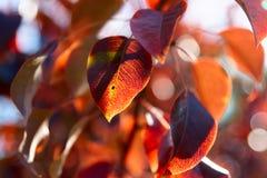 Leves da árvore de pera na queda Fotografia de Stock Royalty Free
