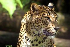 Levhart from Ceylon in Zoo Jihlava. Image taken in the Zoo Jihlava, Levhart from Ceylon watch visitors behind thick glass. Panthera pardus kotiya stock photos