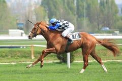 Levis Mistral - horse racing in Prague. Levis Mistral led by the jockey Radek Koplik in the 88th Gomba handicap held on Prague om 7.4.2014 Royalty Free Stock Images