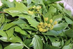 Levisticum officinale, powszechnie nazwana lubczykowa roślina, ziele, pikantność, liście i kolorów żółtych kwiaty, ziarna, przygo obrazy royalty free