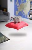 Levitating kitten, British Shorthair Royalty Free Stock Photos