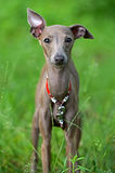 Levretka. Small Italian greyhound in a city park Stock Photos