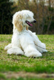Levriero afgano del cane Fotografia Stock Libera da Diritti