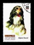 Levriero afgano (familiaris) di canis lupus, serie dei cani, circa 2003 Fotografia Stock Libera da Diritti