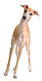 Levriero italiano divertente del cane giallo Fotografia Stock