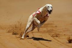 Levriero Sprinting fotografie stock libere da diritti