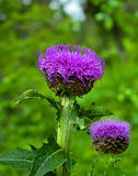 Levzeya saflorovidny or maral root Rhaponticum carthamoides wi Royalty Free Stock Photography