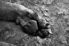Lew łapa w czarny i biały Zdjęcia Royalty Free