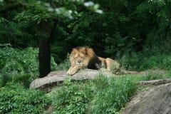 lew żerdź s Fotografia Royalty Free