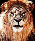 lew obrazy royalty free