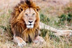 lew afryce dolców Obrazy Stock