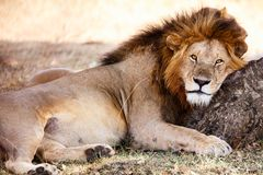 lew afryce dolców Obrazy Royalty Free