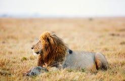 lew afryce dolców Zdjęcie Stock