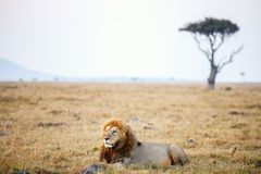 lew afryce dolców Fotografia Royalty Free