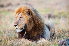 lew afryce dolców Obraz Royalty Free